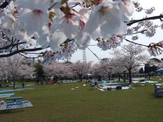 大泉緑地-桜