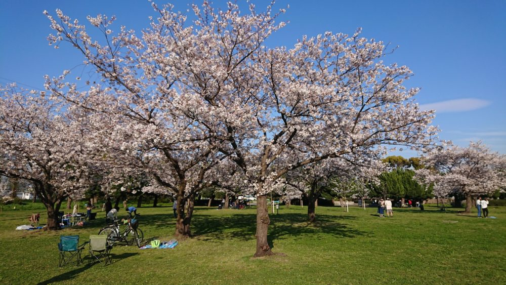 桜広場の桜満開